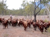 Anita preparing cattle for Baz Luhrmann's movie Australia